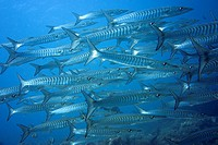 Large school of Blackfin Barracuda (Sphyraena qenie), Raja Ampat, Papua, Indonesia, Southeast Asia