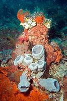 Coral, Raja Ampat, Papua, Indonesia, Southeast Asia.