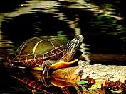 A painted turtle, Chrysemys picta, takes some sun on a log, Pennsylvania, USA.