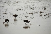 White-faced ibis feed at dawn in flooded field.