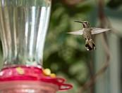 A hummingbird hovers.