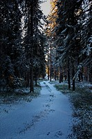 A forest track is leading through a snowy forest that is illuminated by the low winter sun. Bredbyn, Västernorrland, Sweden.