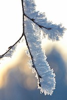 Frost is covering twigs on a cold winter day, Västernorrland, Sweden.
