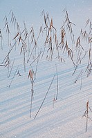Withered rushes cast shadows on fresh snow. Västernorrland, Sweden