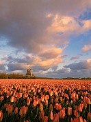 Noord Holland Rural Tulip Fields.