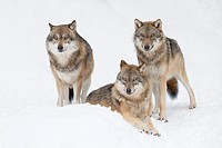 Wolves (Canis lupus) in winter, Bavarian Forest National Park, Germany.