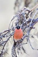 Europe, Finland, Kuhmo area, Kajaani, Bullfinch, Common bullfinch or Eurasian bullfinch (Pyrrhula pyrrhula). adult male