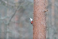 Europe, Finland, Kuhmo area, Kajaani, Great Spotted Woodpecker (Dendrocopos major), adult male.
