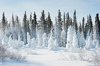 Snow-covered pine trees, Churchill, Manitoba, Canada.