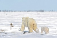 Polar bear mother (Ursus maritimus) with new born cub walking on tundra, Wapusk National Park, Manitoba, Canada.