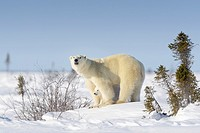 Polar bear mother (Ursus maritimus) with new born cub standing on tundra, Wapusk National Park, Manitoba, Canada.