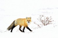 Red Fox (Vulpes vulpes) adult, walking in snow looking at camera, Churchill, Manitoba, Canada.