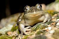 Western spadefoot toad (Pelobates cultripes) in Valdemanco, Madrid, Spain.