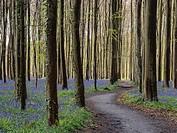 Belgium Blue Forest.