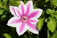 Carnaby clematis, Schreiners Iris Gardens, Keizer, Oregon.