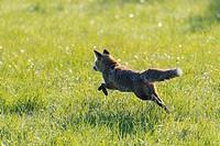 Red Fox (Vulpes vulpes) on Meadow, Springtime, Hesse, Germany, Europe.
