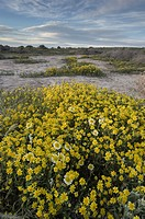 Fields of Coastal Tidytips (Layia platyglossa) and Yellow Goldfields (Lasthenia sp. ) near Soda Lake in Carrizo Plains National Monument, California.
