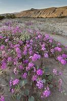 Desert Sand Verbena (Abronia villosa), Anza-Borrego Desert State Park California.