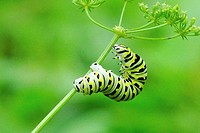 A monarch butterfly caterpillar, danaus plexippus, makes its way up a stalk of parsley, Pennsylvania, USA.