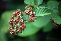 Macro shot of blackberries beginning to ripen on a branch using a bokeh effect.