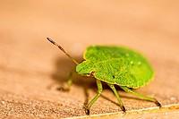 green shield bug, nymph, fauna of Germany