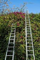 two very tall ladders on wall Bougainvillea in bloom, Sevilla, spain, europe.