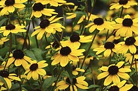 A mass of black-eyed susans, Pennsylvania, USA.