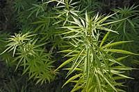 Cannabis sativa plants.
