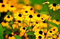 Brilliantly bright black-eyed susans in soft-focus, Pennsylvania, USA.