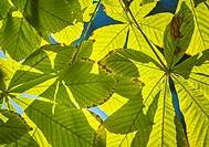 Horse-chestnut leaves in autumn at the Royal Botanical Garden. Madrid. Spain.