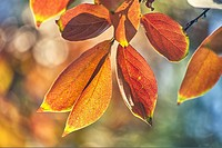 Diospyros kaki sylvestris in autumn at The Royal Botanical Garden. Madrid. Community of Madrid. Spain.