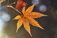 Acer Palmatum in autumn at The Royal Botanical Garden. Madrid. Community of Madrid. Spain.