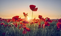 Red poppy flowers field. Getafe, Community of Madrid. Spain.