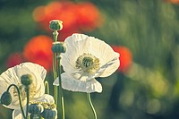 White opium poppy and red poppy flowers field. Getafe, Community of Madrid. Spain.