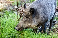Female wild boar, Sus scrofa, Czech Republic.