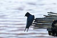 Swallows. Parque Nacional de las Tablas de Daimiel. Ciudad Real. Castilla La Mancha. Spain.