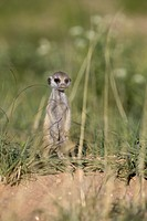 Suricate (Suricata suricatta) - Mother and young, Kgalagadi Transfrontier Park, Kalahari desert, South Africa/Botswana.