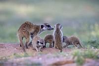 Suricate (Suricata suricatta) - Mother and youngs, Kgalagadi Transfrontier Park, Kalahari desert, South Africa/Botswana.