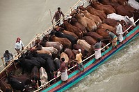 "Sellers transport sacrificial animals on a boat to cattle market in Dhaka ahead of Eid-ul-Azha. Dhaka, Bangladesh. Eid al-Adha called the """"Sacrifice ..."