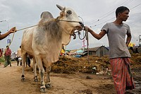 """Men lead cows at a cattle market the day before Eid-al-Adha in Dhaka, BangladeshEid al-Adha called the """"""""Sacrifice Feast"""""""", is the second of two Musl..."""
