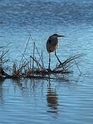 Grey Heron (Ardea cinerea), Saintes-Maries-de-la-Mer, Camargue, France