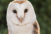 Barn Owl, Tyto alba, front view, captive bird, taken in Zahara, Andalusia, Spain.