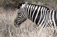 Portrait of mountain zebra (Equus zebra), Etosha National Park, Namibia