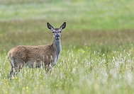 Female Red deer, standg and looking in to the camera at Mull of Oa, Islay, Scotland.