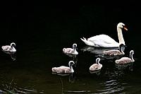 Swan Swimming With Cygnets, Stanway House, Gloucestershire, England.