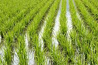Rice field with green young plants in spring, Hotaka, Japan.