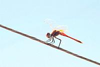 Red Dragonfly in a wire with blue sky background