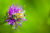 bee on flower in Germany