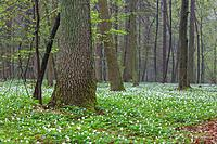 Floral bed of springtime anemone flowers in misty stand with old oak in foreground, Bialowieza Forest, Poland, Europe.
