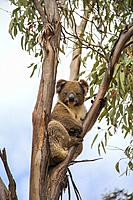 Koala in tree on Kangroo Island, Australia.